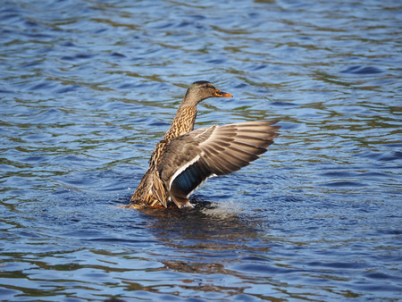 water fowl: duck on the water