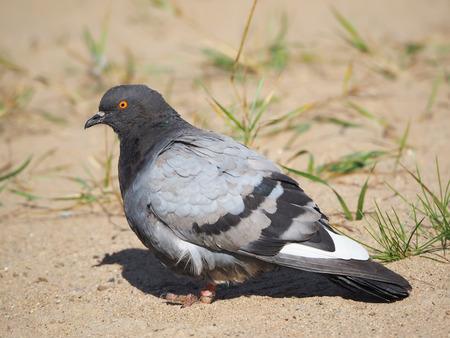 Dove on the beach