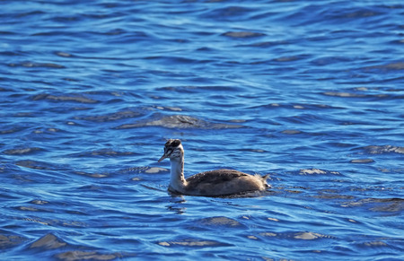 waders: great crested grebe in the water