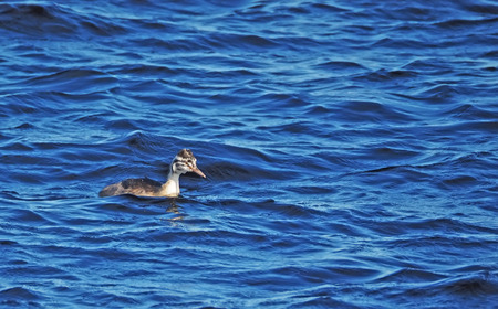 great crested grebe in the water