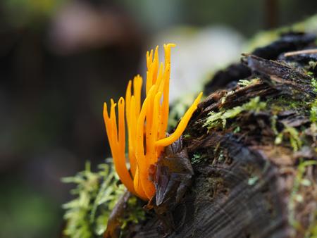 formosa: orange Ramaria flava mushroom in the forest Stock Photo
