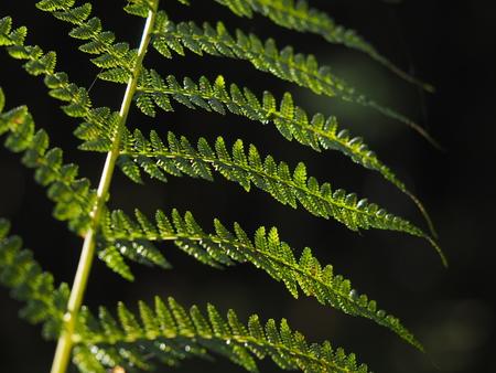 silver fern: Fern in the forest