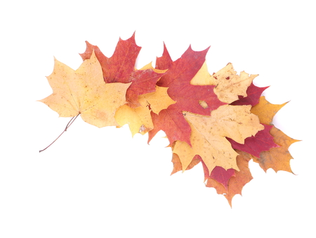 dry maple leaf on a white background Stock Photo