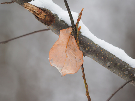 field maple: a dry leaf on a tree Stock Photo