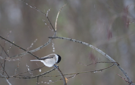 poecile palustris: Marsh tit in the forest