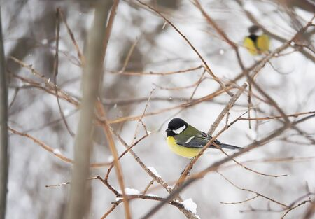 titmouse in the winter forest