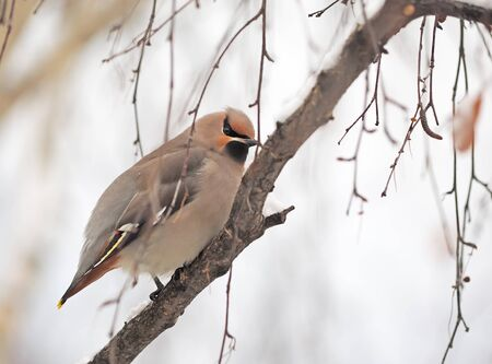 waxwings on branches Stock Photo