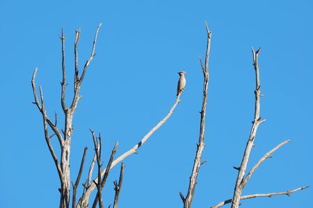 waxwings on a tree