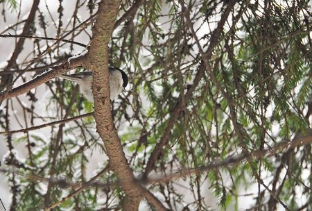 tomtit: titmouse in the winter forest