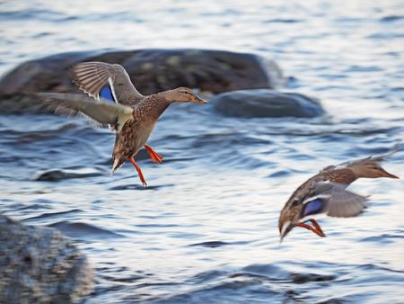 fabalis: duck in flight
