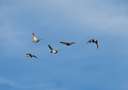 move in: duck in flight