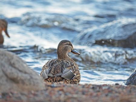 color image mallard duck: duck on the lake