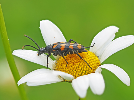 Beetle on camomile Stock Photo