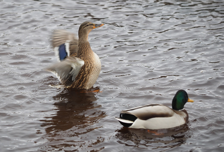 flaps: duck flaps its wings on the lake