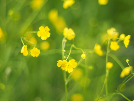 flori culture: yellow buttercups in the forest