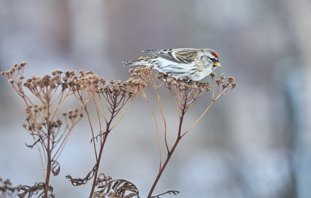 Bird Carduelis flammea on the dry grass in winter Stock Photo