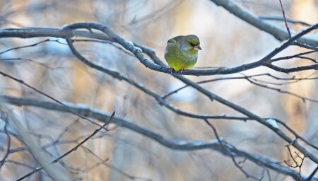 greenfinch on a branch