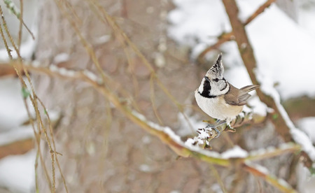 crested tit in the forest