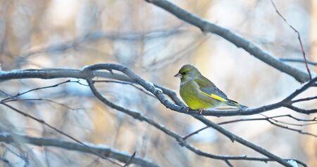 greenfinch: greenfinch on a branch