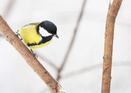 great tit in the forest