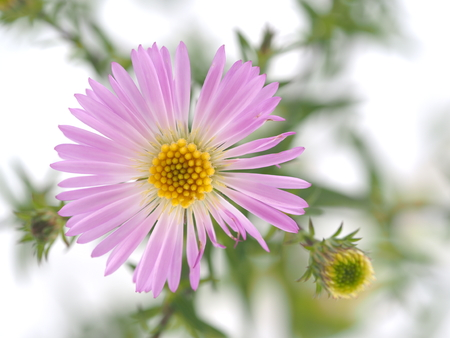 marguerite: purple flowers years of asters on a white background