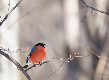 Bullfinch on a branch in the forest