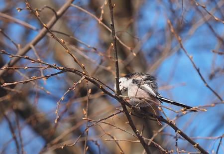 aspen tree: Long-tailed tit on a tree