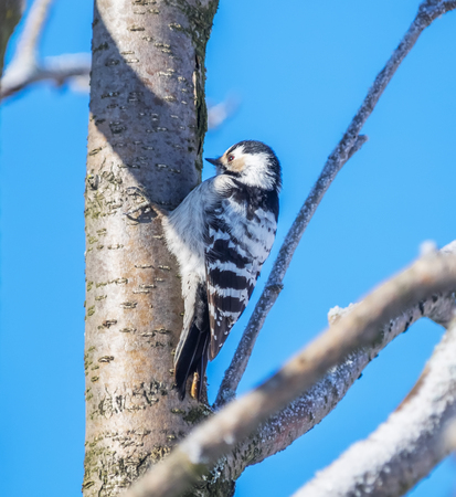 Female small woodpecker on a tree