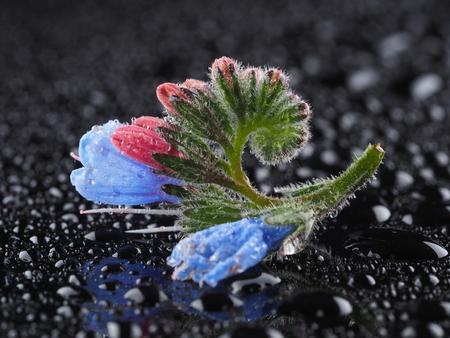 Blue comfrey flowers on a dark background