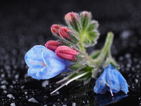 Blue comfrey flowers on a dark background
