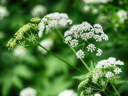 森の中の花イワミツバ