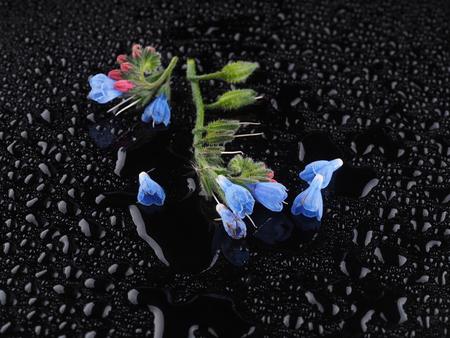 comfrey: Blue comfrey flowers on a dark background