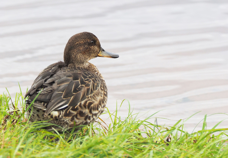 duck teal on the river bank Stock Photo