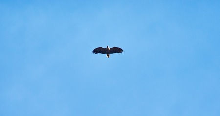 white-tailed eagle in the sky