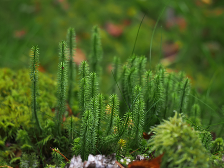 Lycopodium in the forest