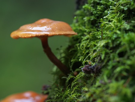 Hypholoma capnoides on a stump in the forest