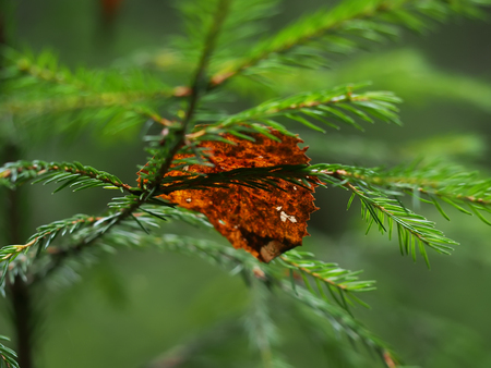 dry leaf on spruce branches