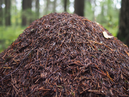 an anthill in the forest. summer Stock Photo
