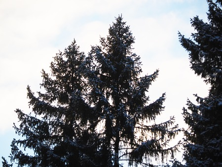 contours of spruce in the forest
