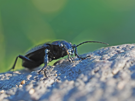 Carabidae in the forest Stock Photo