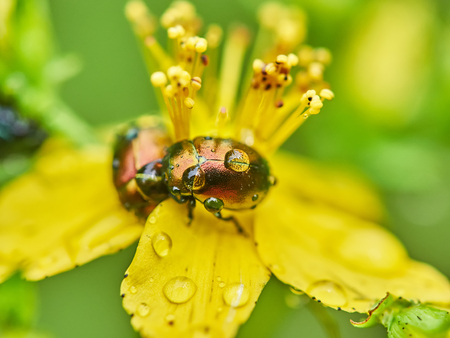 beetle Chrysomelidae on a flower in the forest Stock Photo