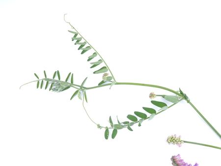 Bush vetch (Vicia sepium) on white background Foto de archivo