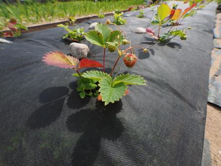 strawberries on the garden in summer