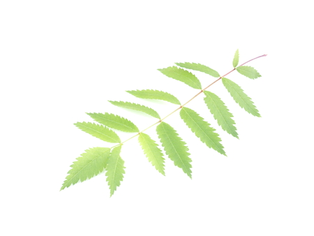 leaves of mountain ash on white background Stock Photo