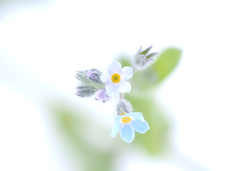 flowers forget-me-nots on a white background