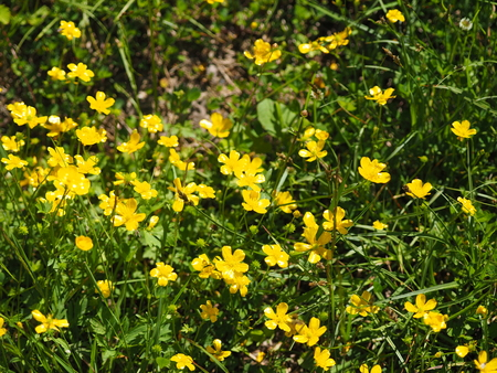 flower buttercup on the clearing