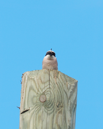 Lanius bird with a dragonfly in its beak on an electric pole