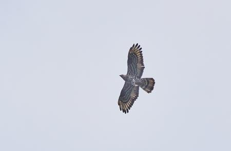 avian bird in flight Stock Photo - 106898891