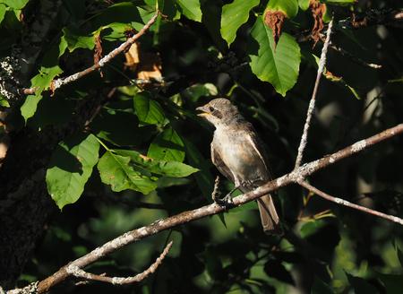 bird shrike in the forest