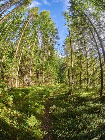 In the forest. Summer. Russia, Karelia
